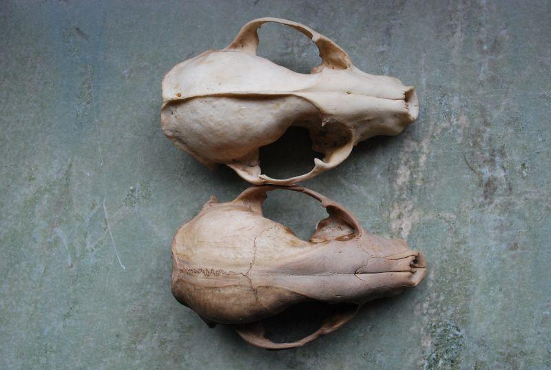 Schedel van het tweedejaarsmannetje wasbeer uit Schepdaal (onderaan) versus schedel van een oudere wasbeer (bovenaan) (foto INBO)