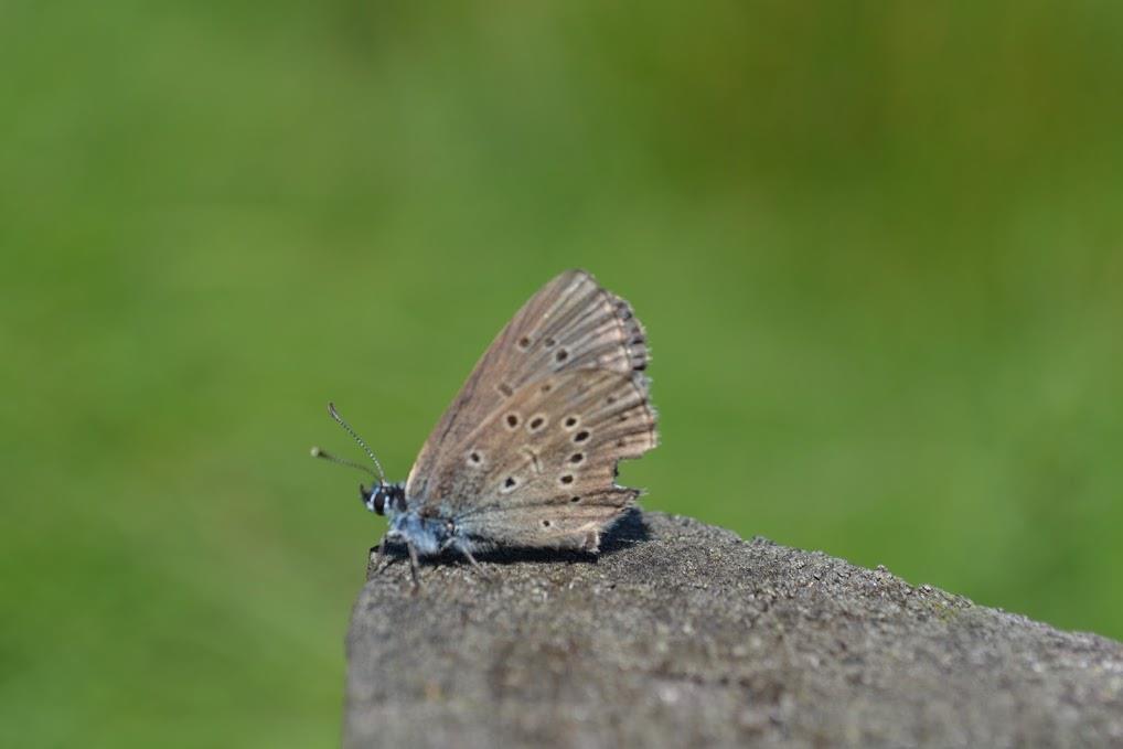 Gentiaanblauwtje (foto INBO)
