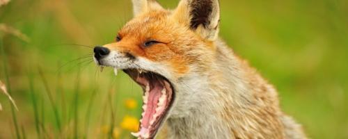 Foto van een vos