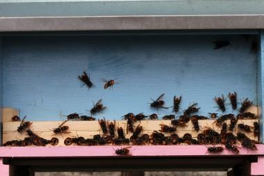 Aziatische hoornaars aan een kast