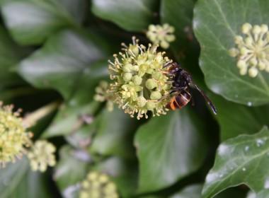 foto van Aziatische hoornaar op klimop