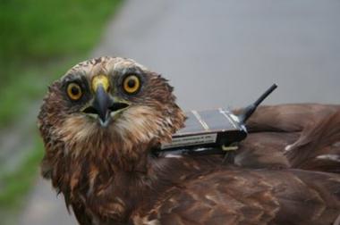 Bruine kiekendief 'Walter' werd met een UvA-BiTS GPS-logger getrackt (Bron: Roger Janssens)
