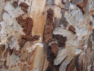 De typische frass (uitwerpselen + houtresten) van blauwe dennenprachtkeverlarven (foto INBO)