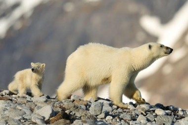 foto van twee ijsberen