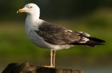 photo of small black-backed gull