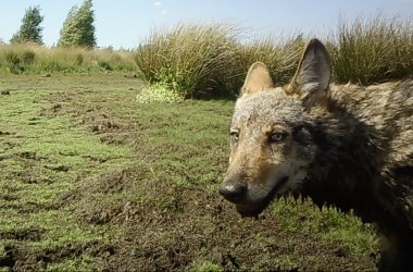 """<p>Van 7 tot 15 september beantwoordden onze experten negen veelgestelde vragen over de wolf in een koret video. Herbekijk de video&#39;s hier, met extra duiding:</p> <ol> <li><a href=""""/nl/node/557520"""">Waar komen die wolven vandaan?</a></li> <li><a href=""""/nl/node/557521"""">Is er in Vlaanderen voldoende leefgebied voor wolven?</a></li> <li><a href=""""/nl/node/557522"""">Hoeveel wolven zijn er mogelijk in Vlaanderen?</a></li> <li><a href=""""/nl/node/557523"""">Kan ik nog veilig met de hond gaan wandelen in het bos?</"""