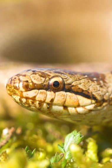 Gladde slang (foto Yves Adams - Vildaphoto)