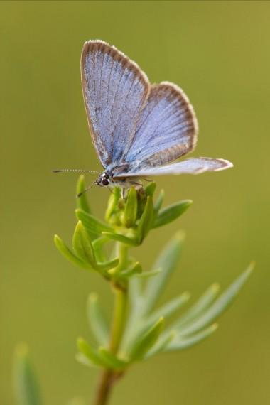 foto van vlinder gentiaanblauwtje