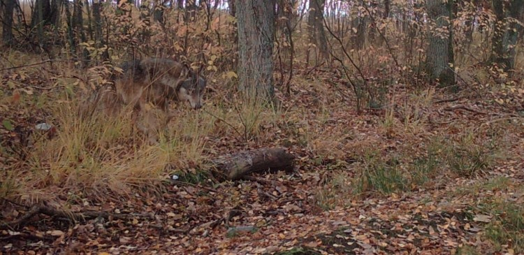 Wolf August - beeld INBO-ANB