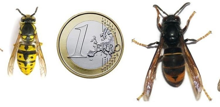 Hoornaar vs euromunt