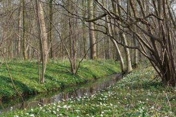 Bosanemoon steekt de rivier over van oud naar nieuw bos