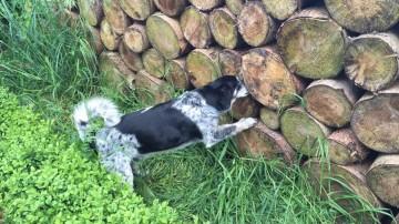 foto van hond die snuffelt aan stapel boomstammen