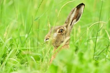 Hare/ Haas