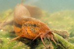 Grote modderkruiper (foto Rollin Verlinde - Vildaphoto)