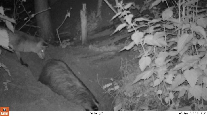 vos kijkt toe op dassen (foto INBO)