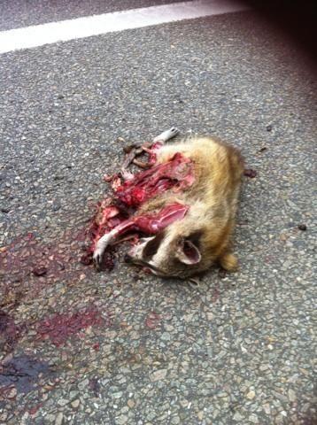 Wasbeer als verkeersslachtoffer in Tervuren