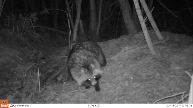 Wasbeerhond op dassenburcht in Brugse regio